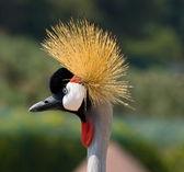 Head of Grey Crowned Crane — Stock Photo