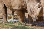 Wild rhino — Stock Photo