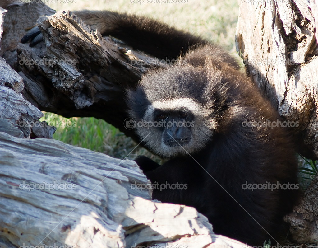 White handed Gibbon or Lar Gibbon, hylobatidae — Stock Photo #6853604