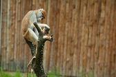 Hayvanat bahçesindeki maymun oturma ve kabukları ağaç — Stok fotoğraf