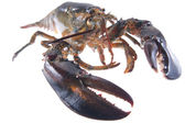 Lobster isolated on white — Stock Photo
