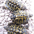 Turtle reptile — Foto Stock