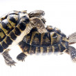 Turtle reptile — Stock Photo #6910206