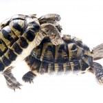 Turtle reptile — Stock Photo