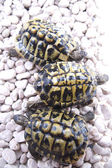 Turtle reptile — Stockfoto
