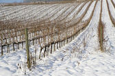 Vineyards covered in snow — Stock fotografie