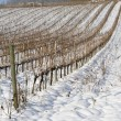 Vineyards covered in snow - Stok fotoğraf