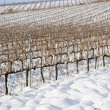 Vineyards covered in snow — Stock Photo