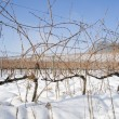 Vineyards covered in snow - Stock Photo