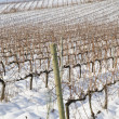 Vineyards covered in snow - 图库照片