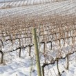 Vineyards covered in snow - Stockfoto