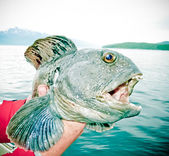 Wolffish. — Stock Photo