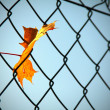 Maple leaf captured — Stock Photo