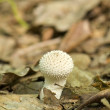 Lycoperdon perlatum — Stock Photo