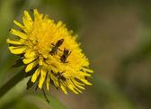 Nomada - Bee and dandelion — Stock Photo