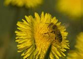 Bee - apis — Stock Photo