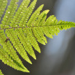 Stock Photo: Fern - leaf
