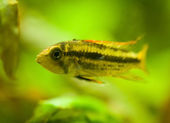 Apistogramma cacatuoides — Stock Photo