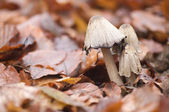 Coprinus comatus — Stock Photo