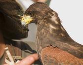 Falconer and buzzard — Stock Photo