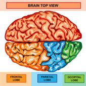 Human brain top view — Stock fotografie