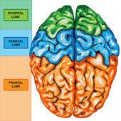 Human brain top view — Stock Photo