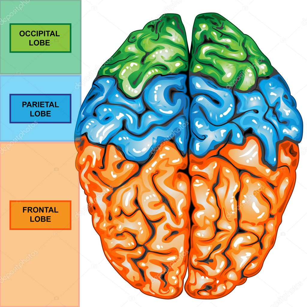 Brain top view images free download brain top view ccuart Choice Image