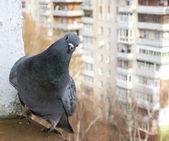 Dove sitting on window sills — Stock Photo