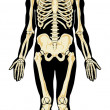 Stock Vector: Humanatomy. Skeleton