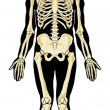 Humanatomy. Skeleton — Stock Vector #7685970