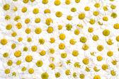 Fondo floral hecha de muchas camomiles — Foto de Stock