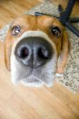 Nosey Beagle — Stock Photo