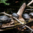 Stock Photo: Four Turtles Resting on Log
