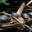 Four Turtles Resting on a Log — Stock Photo #7205976