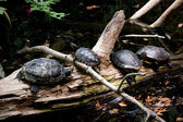 Four Turtles Resting on a Log — Stock Photo