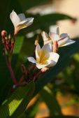 白花 — 图库照片
