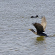 Waterfowl in Deltof Llobregat and conservation area, brackish water, — ストック写真 #6826794