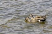 Aves acuaticas en el Delta del Llobregat, espacio natural protegido, Coot — Stock Photo