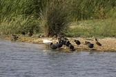 Aves acuaticas en el Delta del Llobregat, espacio natural protegido — Stock Photo