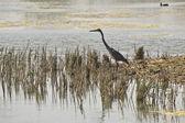 Oiseaux aquatiques dans le delta du llobregat et conservation area, eau saumâtre, — Photo