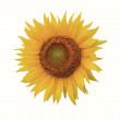 Flower colors on white background, sunflower — Stock Photo