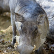 Stock Photo: Warthog (Phacochoerus)