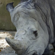 White Rhinoceros (Rhinocerotidae) — Stock Photo