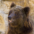 Europebrown bear (Ursus arctos arctos) — Stock Photo #6953086
