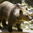 Europebrown bear (Ursus arctos arctos) — Stock Photo #6953142