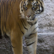 The Bengal tiger (Panthera tigris tigris) — Stock Photo
