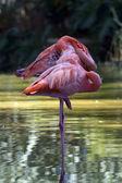 The flamingos (Phoenicopteriformes) — Stock Photo
