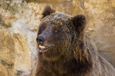 The European brown bear (Ursus arctos arctos) — Foto de Stock