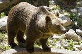 The European brown bear (Ursus arctos arctos) — Stok fotoğraf