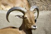 Barbary sheep (Ammotragus lervia) — Zdjęcie stockowe